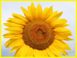 04_sunflower